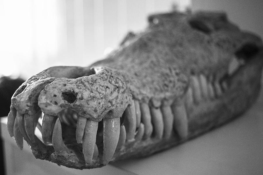 Cráneo de cocodrilo. Obra de Emilio Torres. Foto por Melanie Lupiáñez